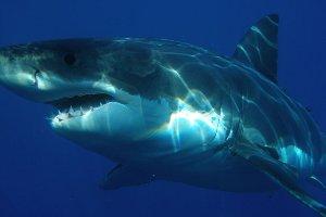 shark300x200